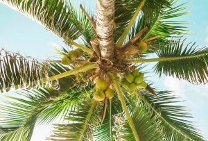 Above head coconut in tree