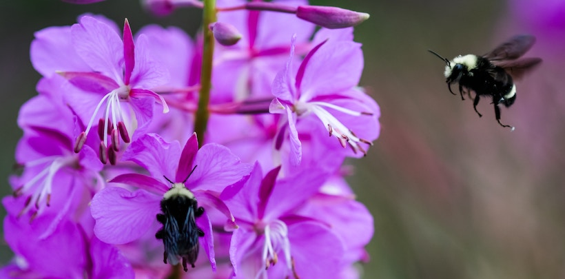 Bumblebees on a Purple Flower