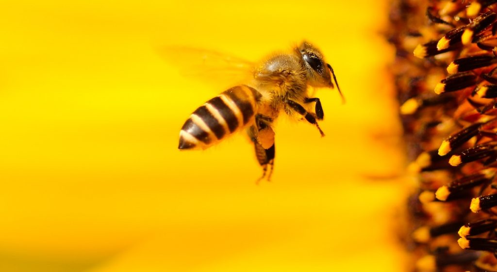 Honeybee approaching a yellow flower