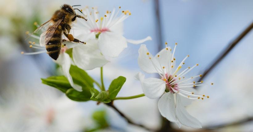 Honeybee lands on a white flower
