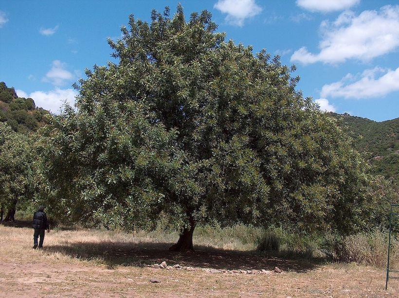 A man standing next to a carob tree