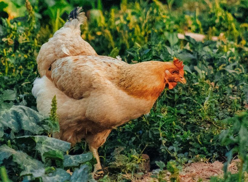 Hen in a garden