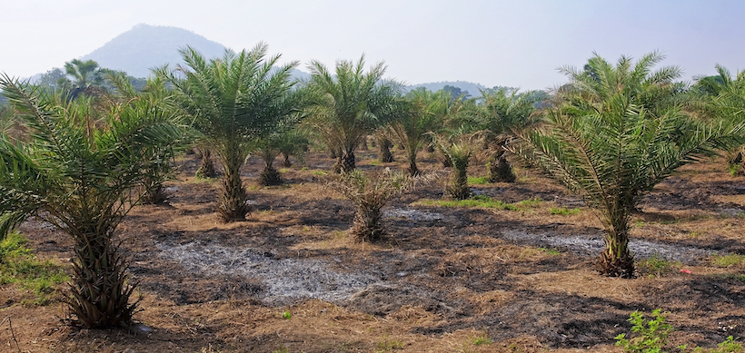 Field cultivation of tropical palm trees in Thailand